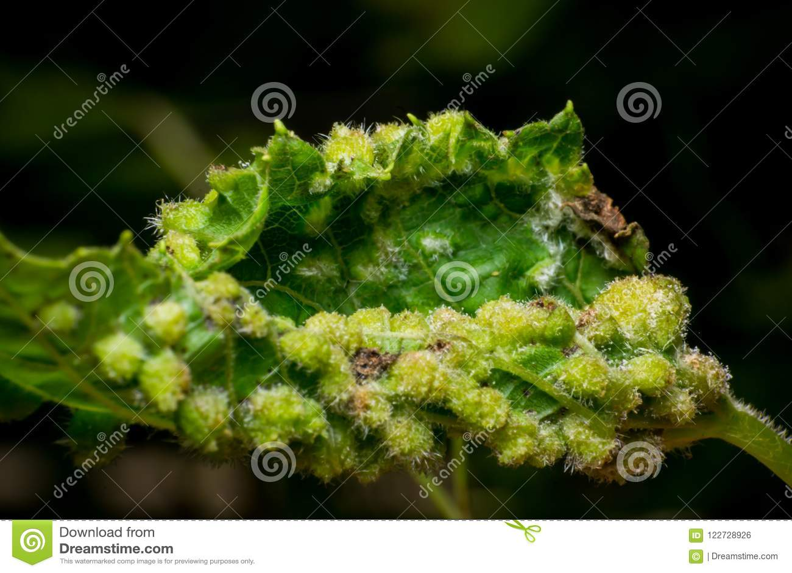Phylloxera vastatrix, Daktulosphaira vitifoliae, vine disease