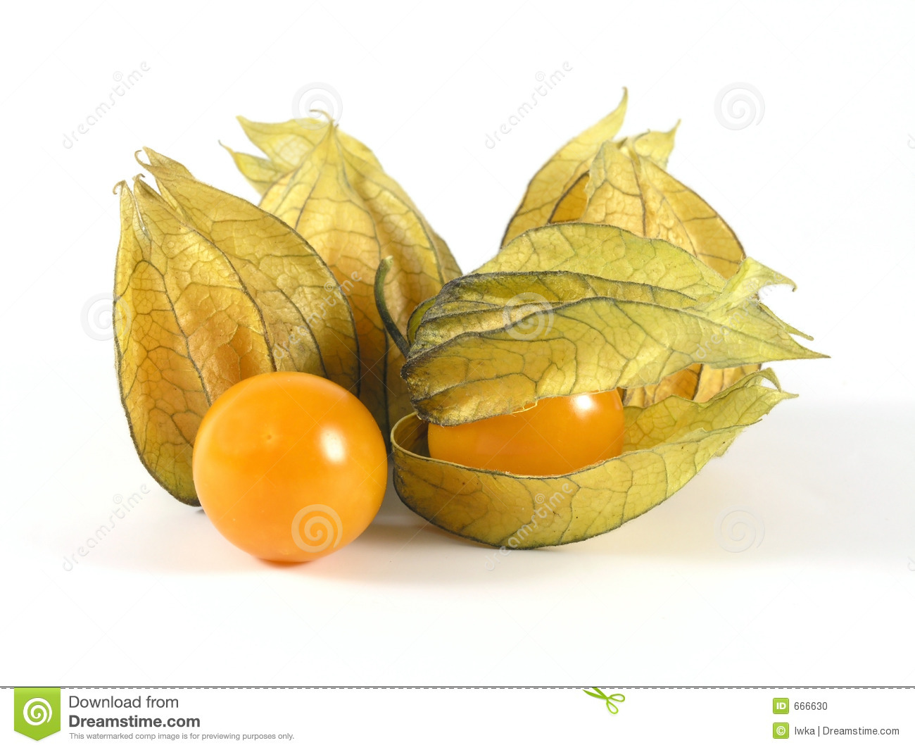Physalis Stock Photo - Image: 666630 Chinese Lantern Clipart