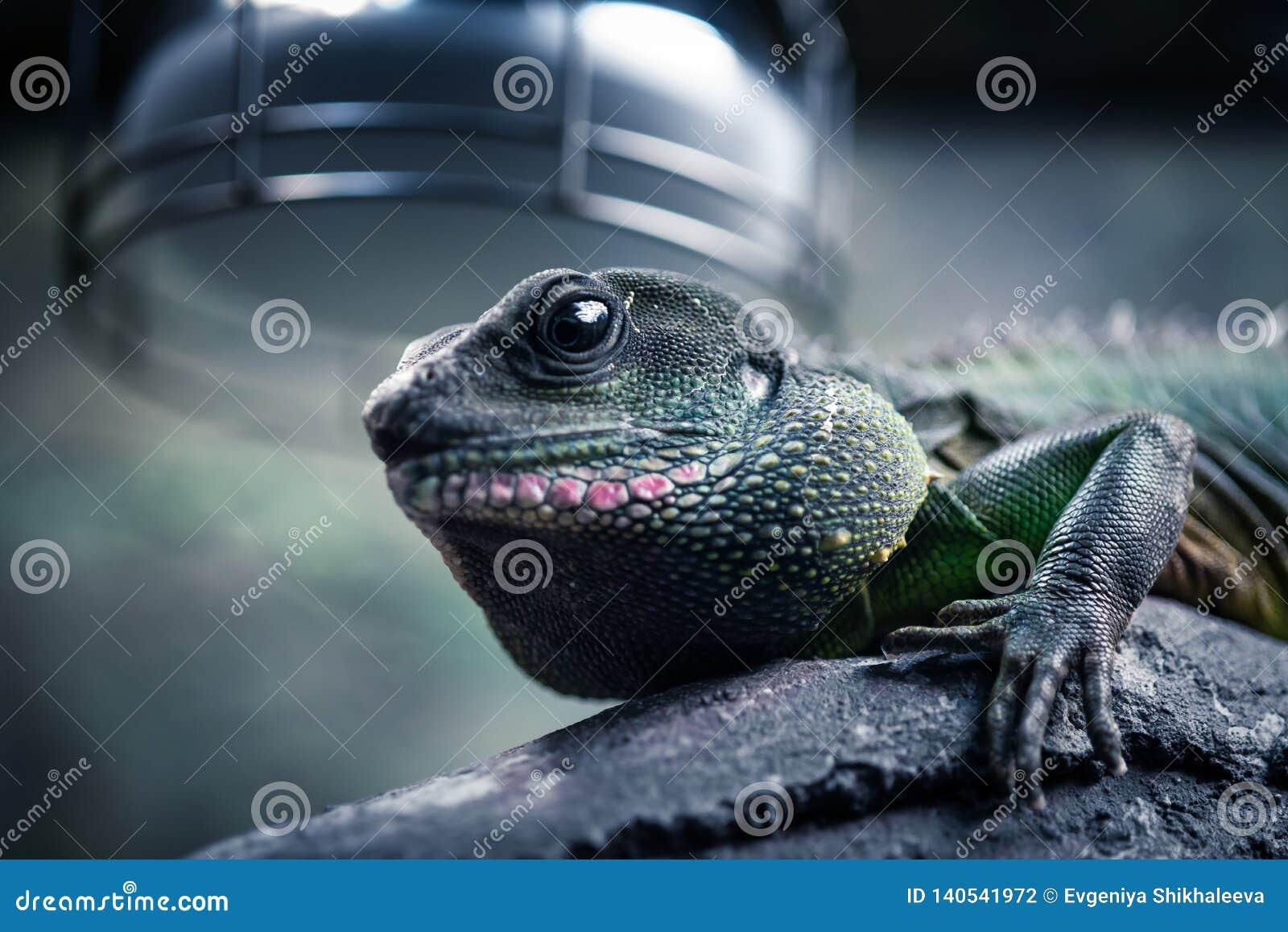 Piękna jaszczurka jest w swój naturalnym środowisku
