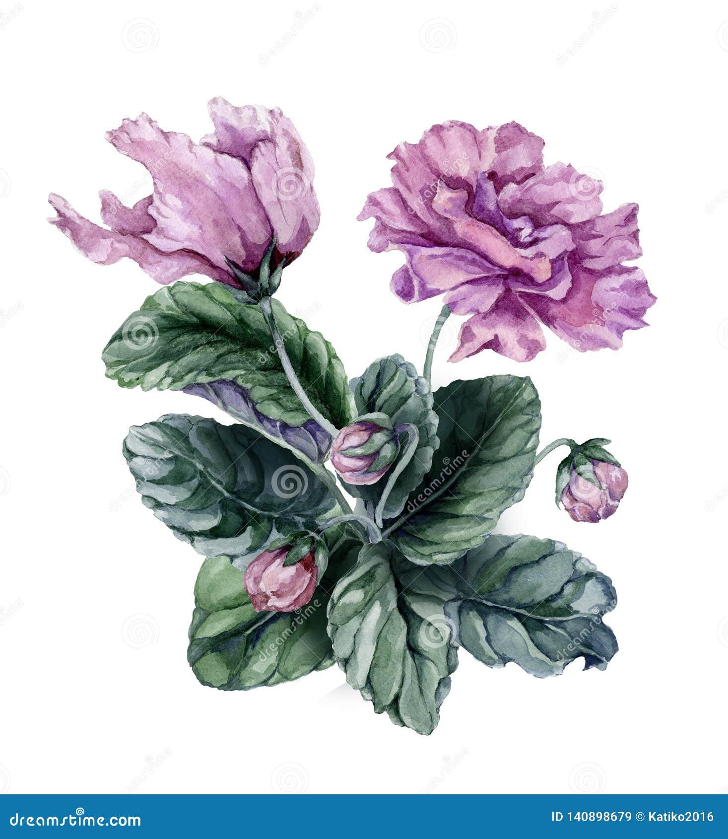 Piękne menchie i purpurowy afrykańskiego fiołka kwiatów Saintpaulia z zieleń liśćmi i zamykającymi pączkami odizolowywającymi na
