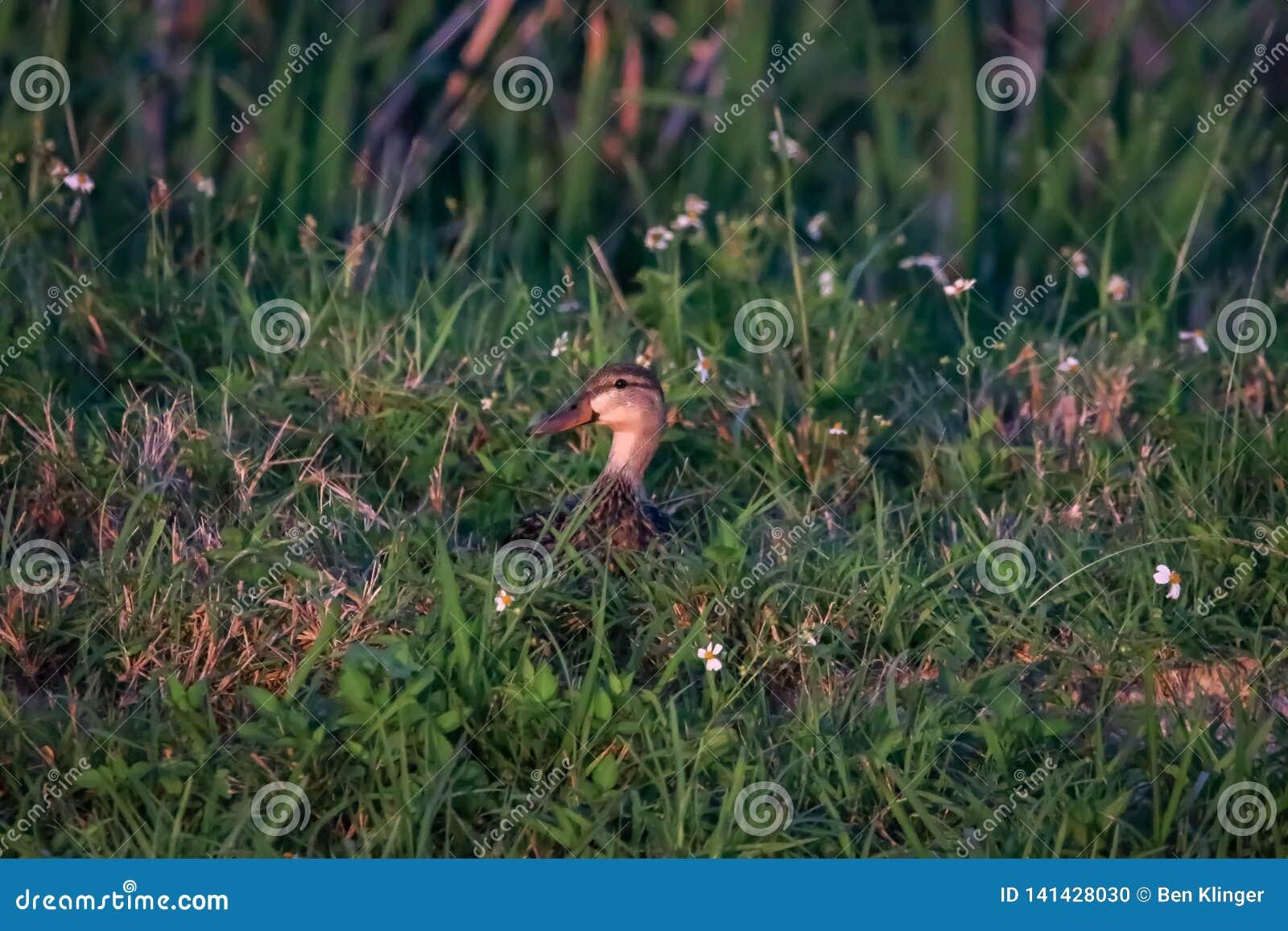 Piękne wielkanocy kaczki