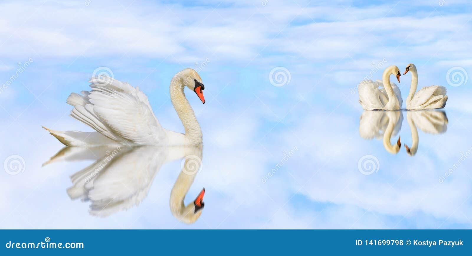 Piękni biali łabędź na spokojnym jeziorze z odbiciem
