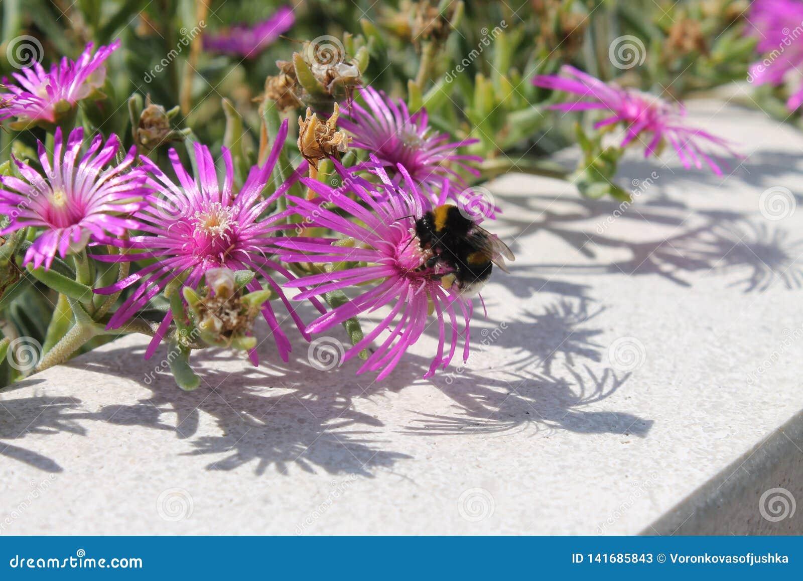 Piękni różowi wildflowers i bumblebee