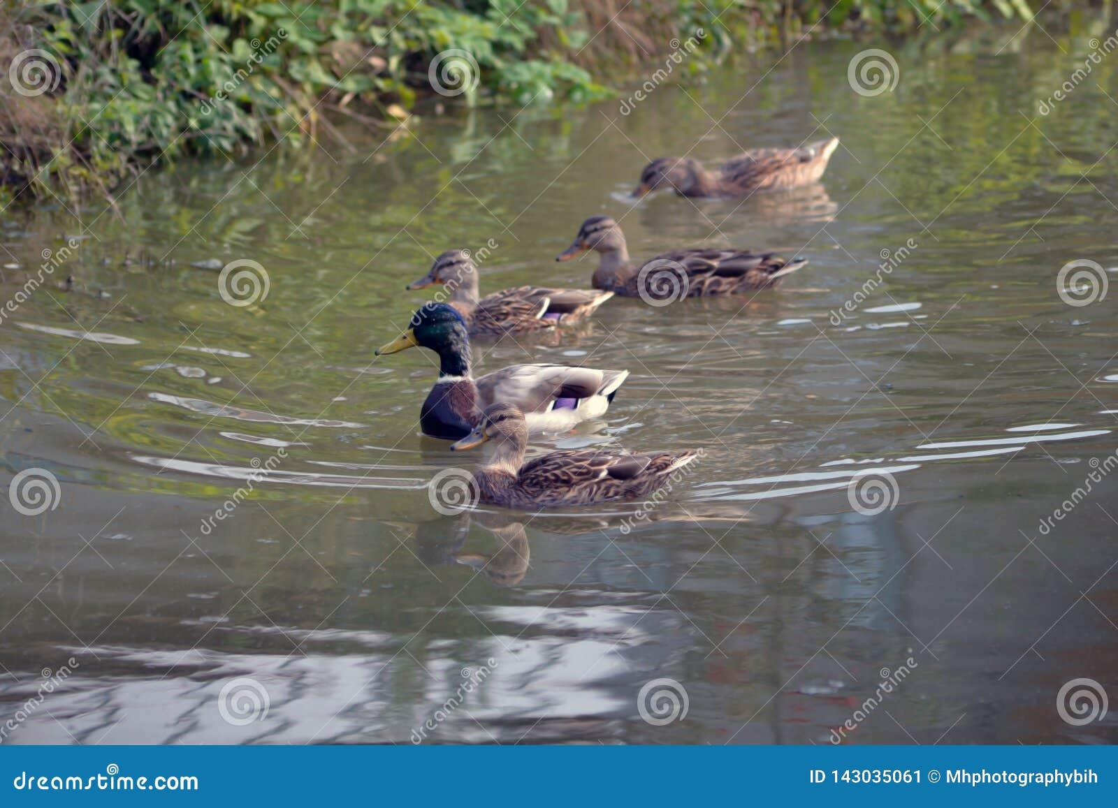 Pięć brązów mallard kaczka