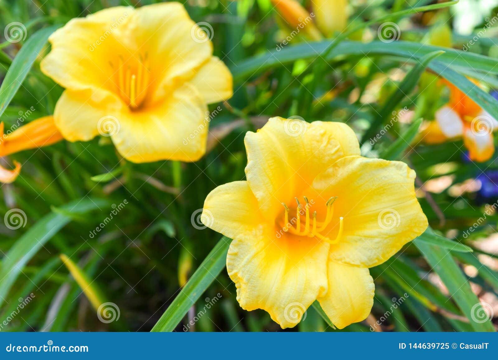 Piękna żółta wiosna kwitnie, kwitnący wśród tłustoszowatej zielonej trawy