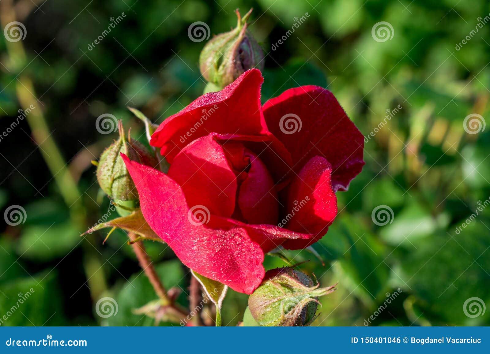 Piękna czerwieni róża na gorącym letnim dniu