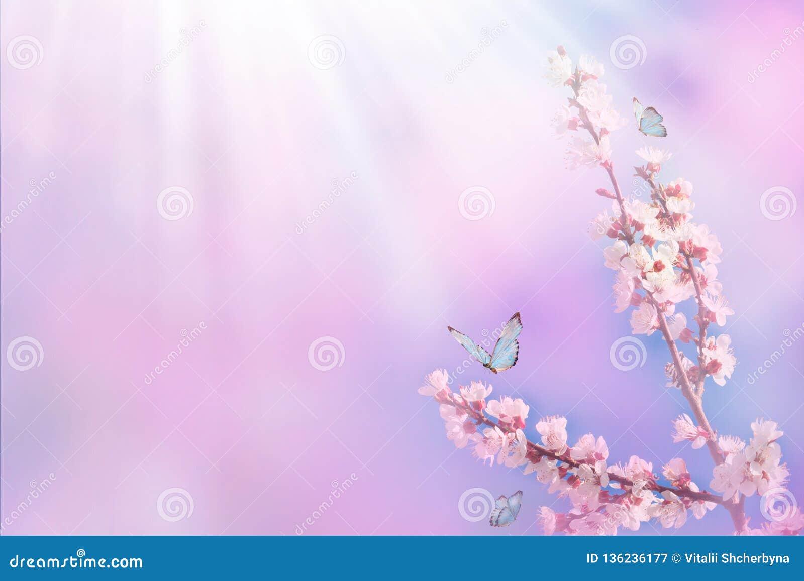 Piękna gałąź kwitnąć czereśniowego i błękitnego motyla w wiośnie przy wschód słońca rankiem na różowym tle, makro- Zadziwiający e