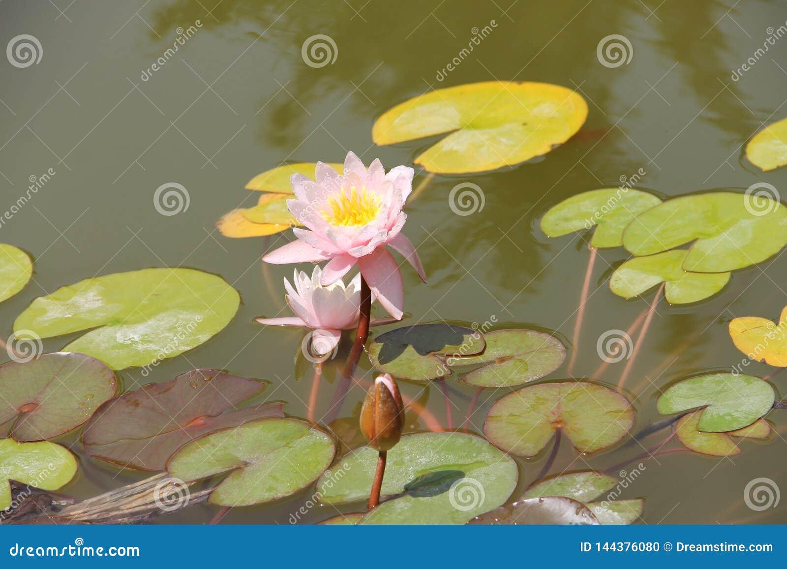 Piękna lily wody