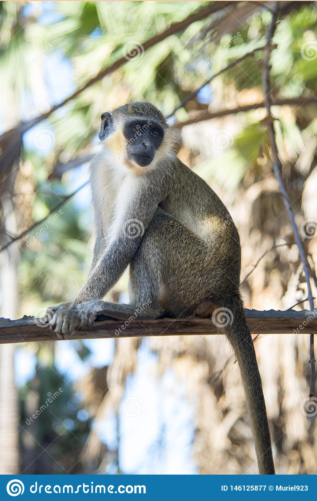 Piękna małpa siedzi na punkcie obserwacyjnym w drzewie w wiosce w Gambia