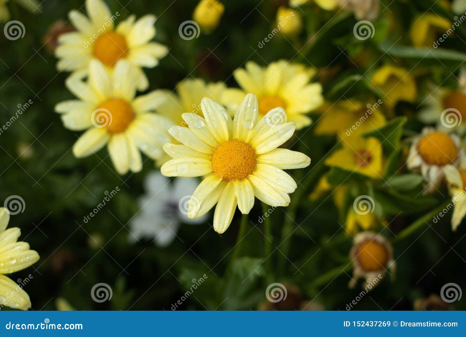 Piękna marguerite stokrotki żółci kwiaty