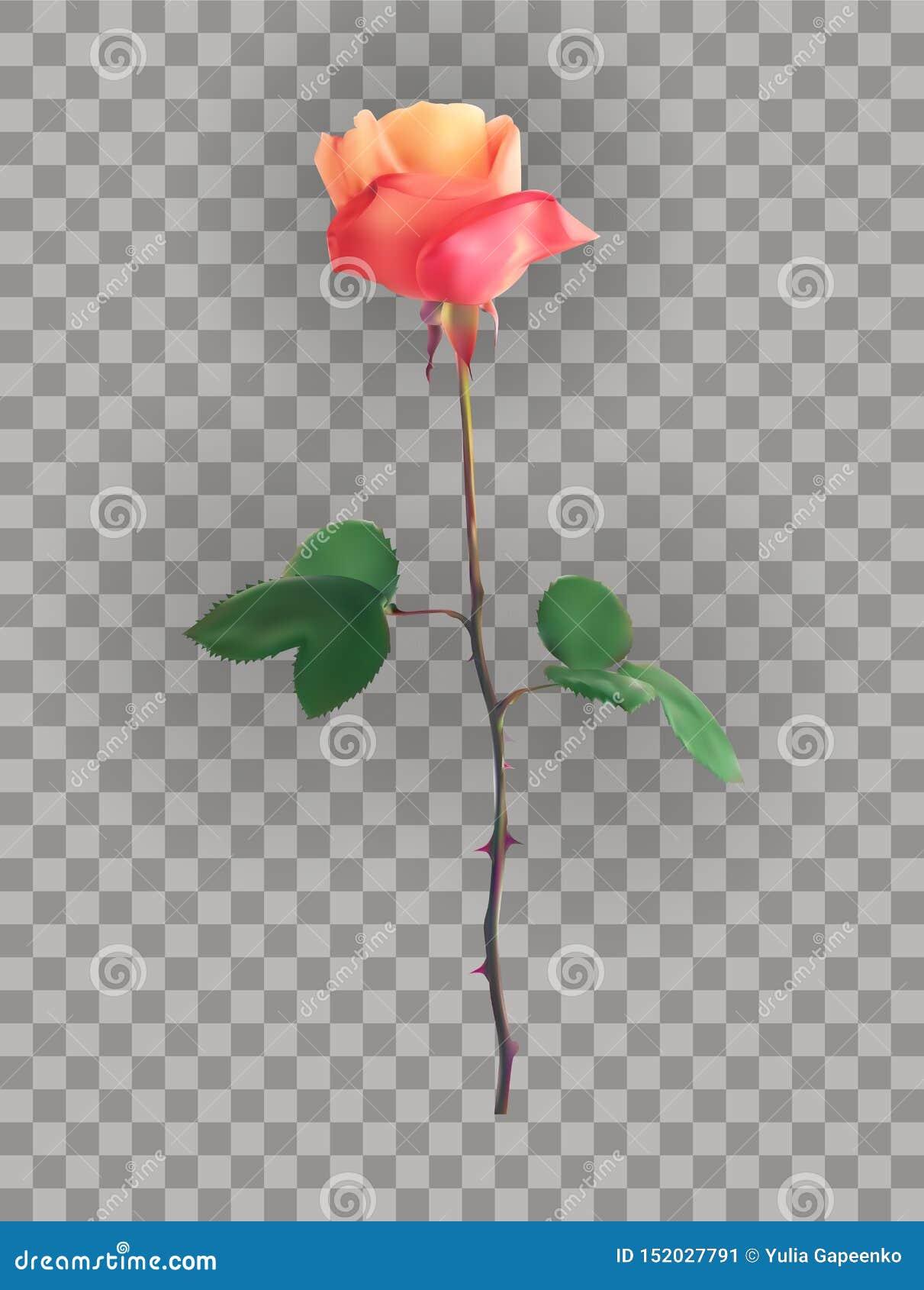 Piękna menchii róża Wywodzi się na przejrzystym tle r?wnie? zwr?ci? corel ilustracji wektora