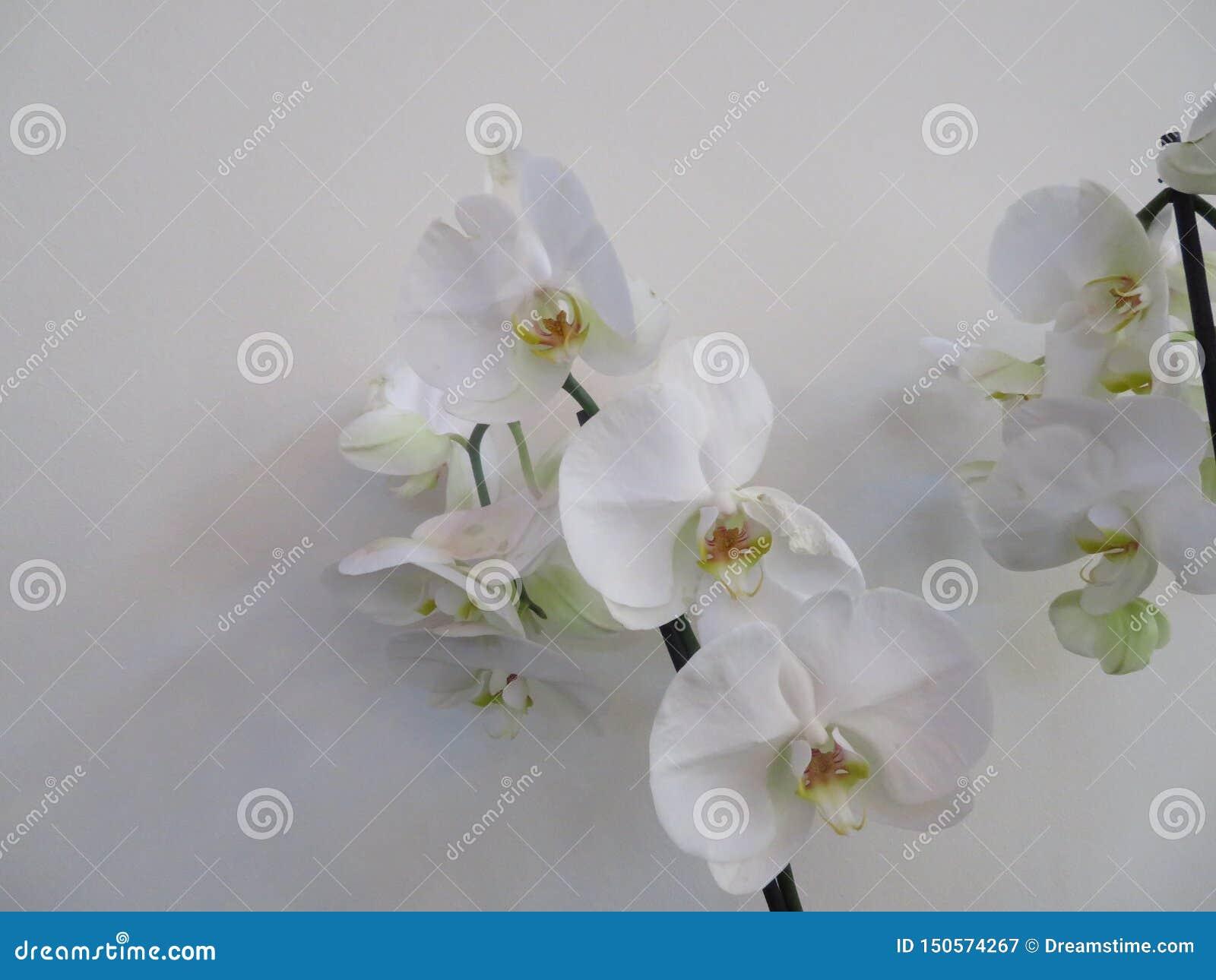Piękna orchidea w nieprawdopodobnym kolorze wielki piękno i