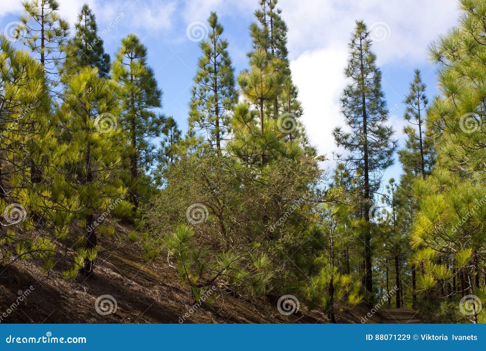 Piękna panorama sosnowy las z pogodnym letnim dniem Iglaści drzewa Podtrzymywalny ekosystem teide Tenerife