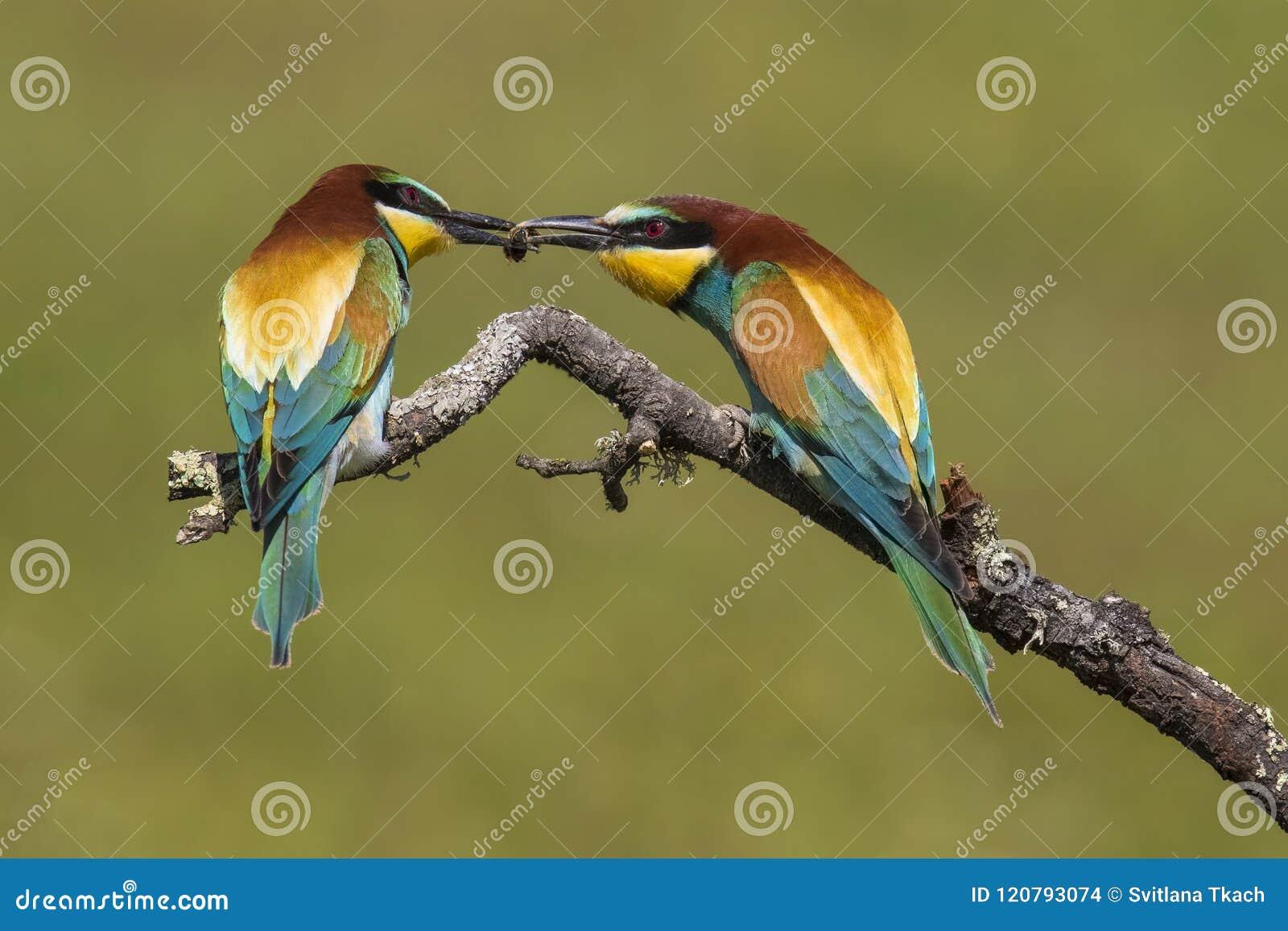 Piękna para kolorowi Europejscy zjadacze, Merops apiaster w koperczaki,