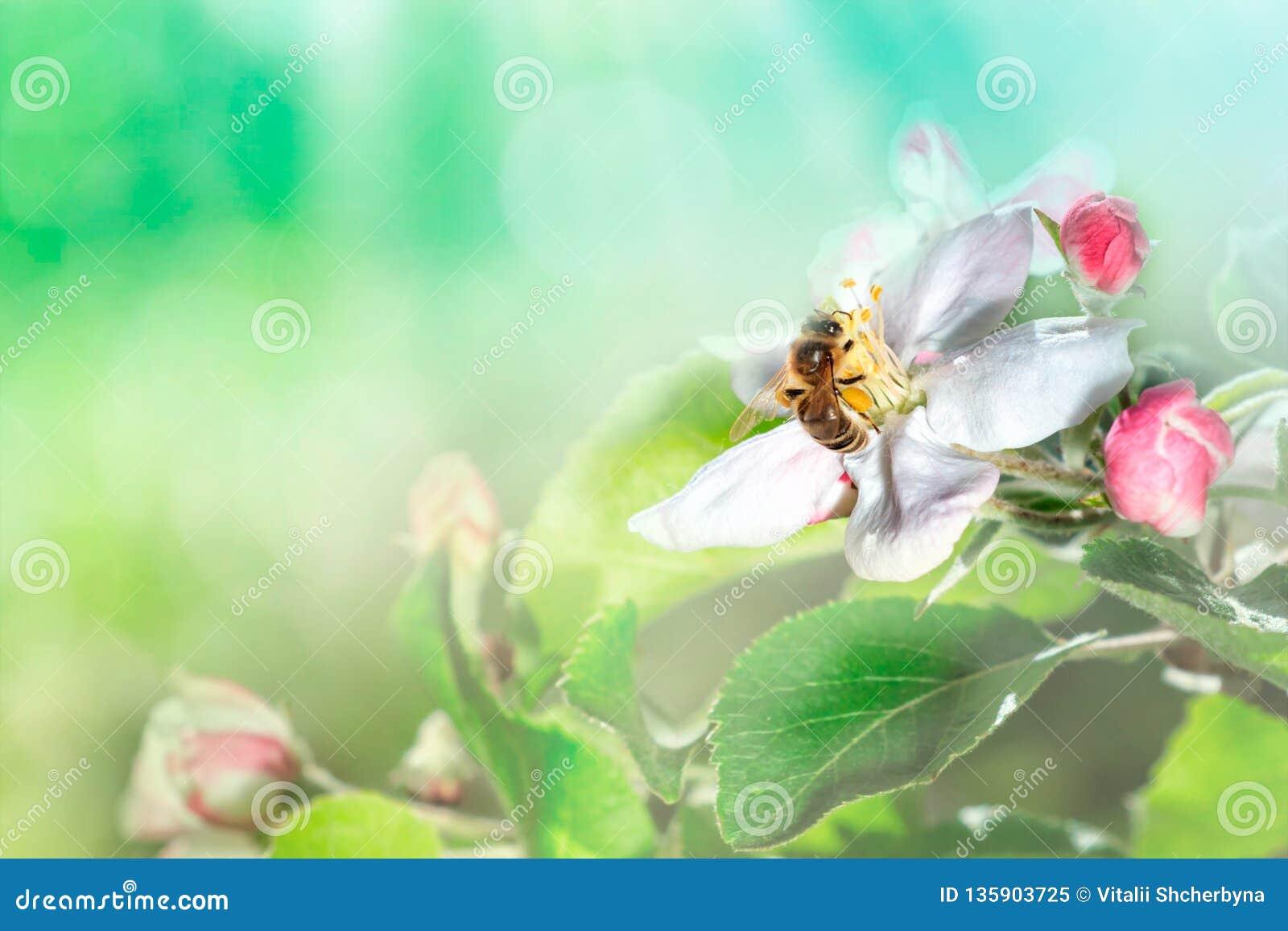 Piękna pszczoła w locie i gałąź kwiatonośna jabłoń w wiośnie przy wschód słońca na tle makro- bławym i zielonym target55_0_