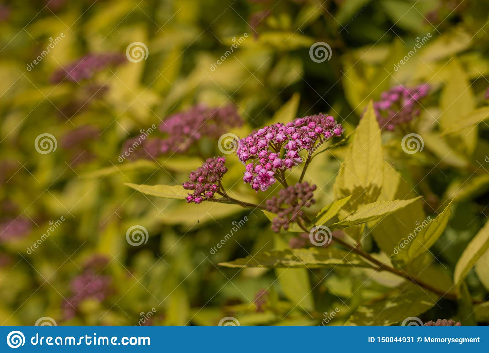 Piękna purpura kwitnie na tle żółty ulistnienie zbli?enie