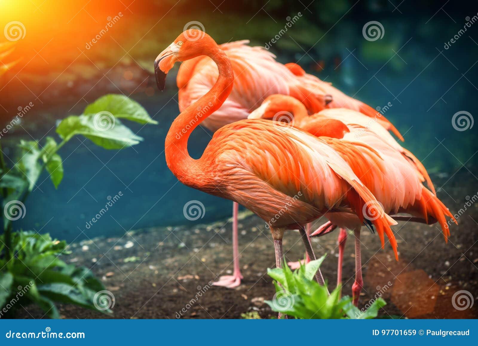 Piękna różowa flaming pozycja przy wodną krawędzią Zwierzęcy backgroun