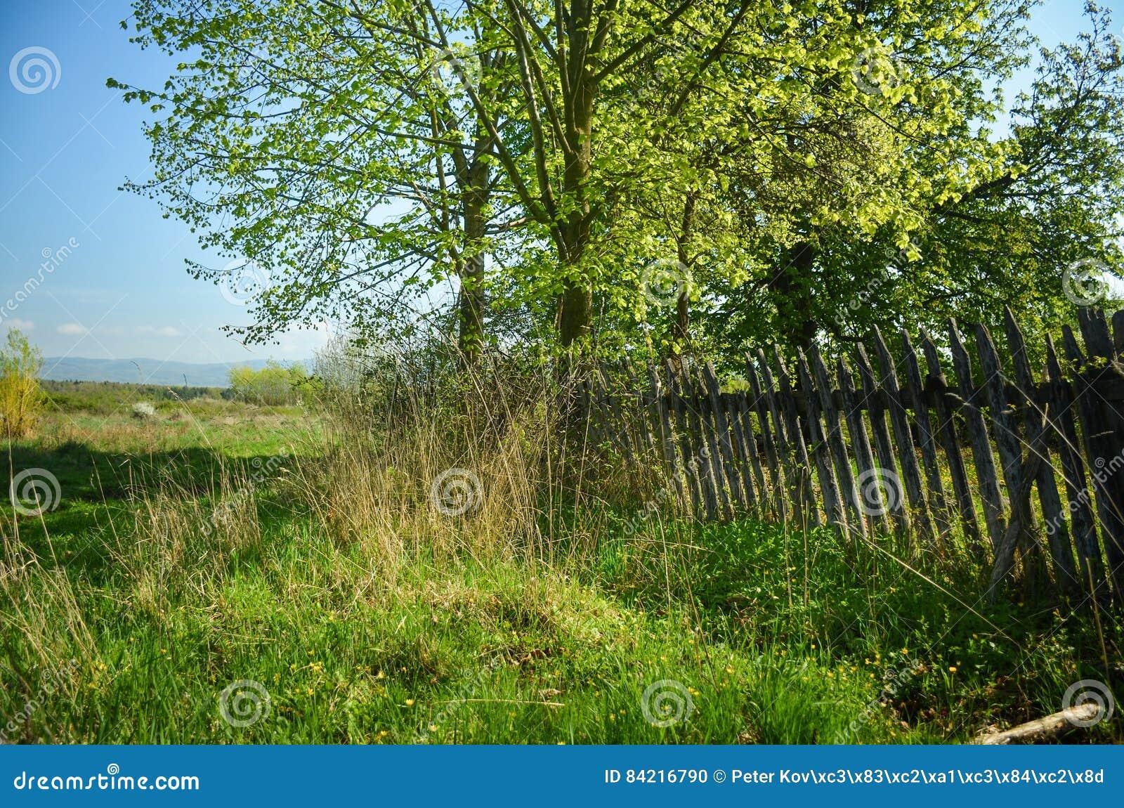 Piękna scenerii wiosna Białych kwiatów czereśniowi drzewa na ładny łąkowy pełnym zielona trawa Niebieskiego nieba i majestata las