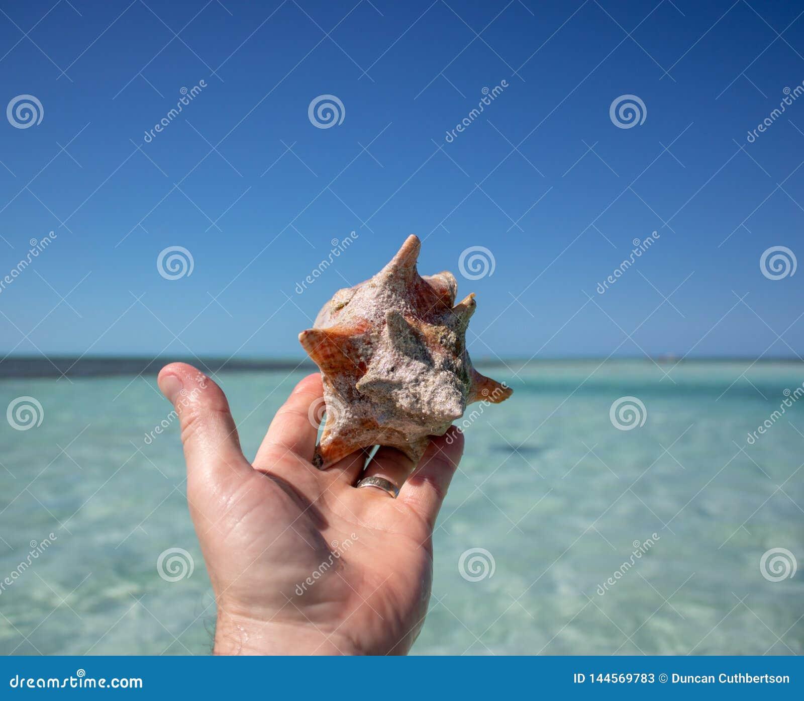 Piękna skorupa na tropikalnej piaskowatej plaży trzyma mężczyzną