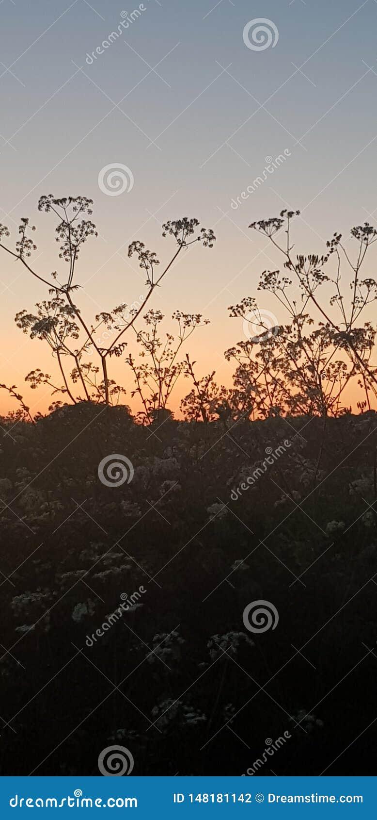 Piękna sylwetka kwiaty przy zmierzchem