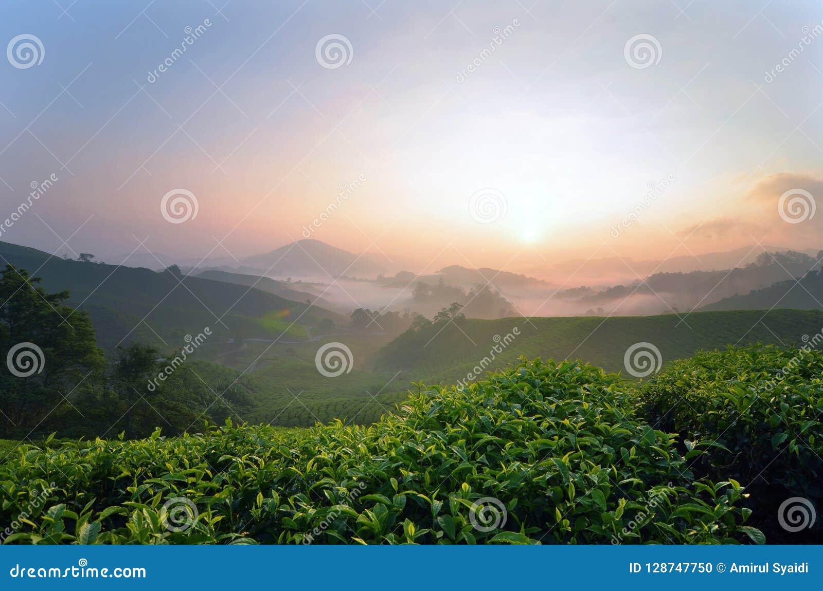 Piękna wschód słońca sceneria lokalizować w Cameron średniogórzu herbaciana plantacja, Malezja