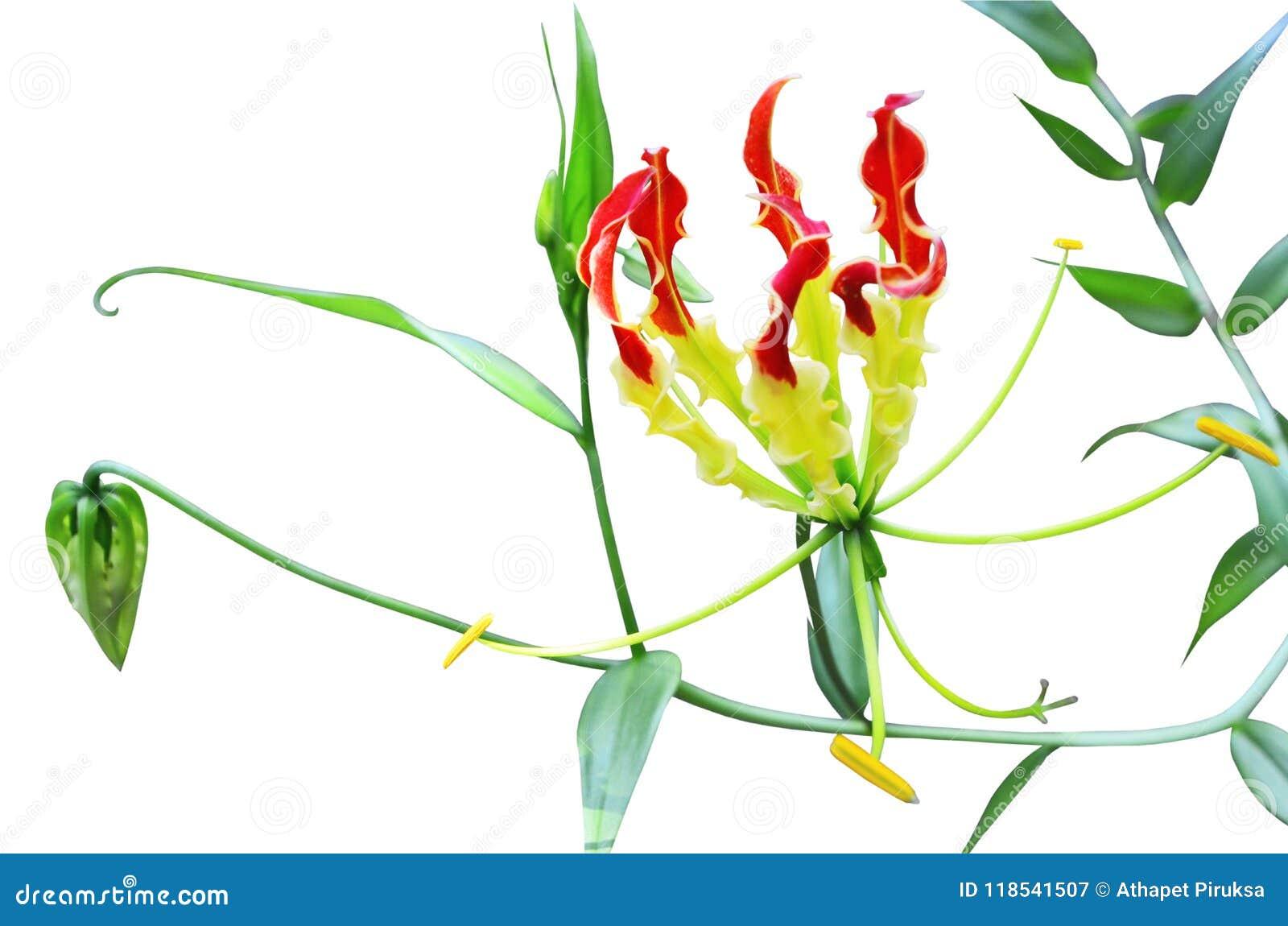 Piękna wspinaczkowa leluja kwitnie na białym tle