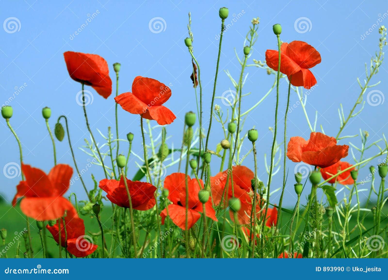 Piękne niebieskie maczków czerwone niebo