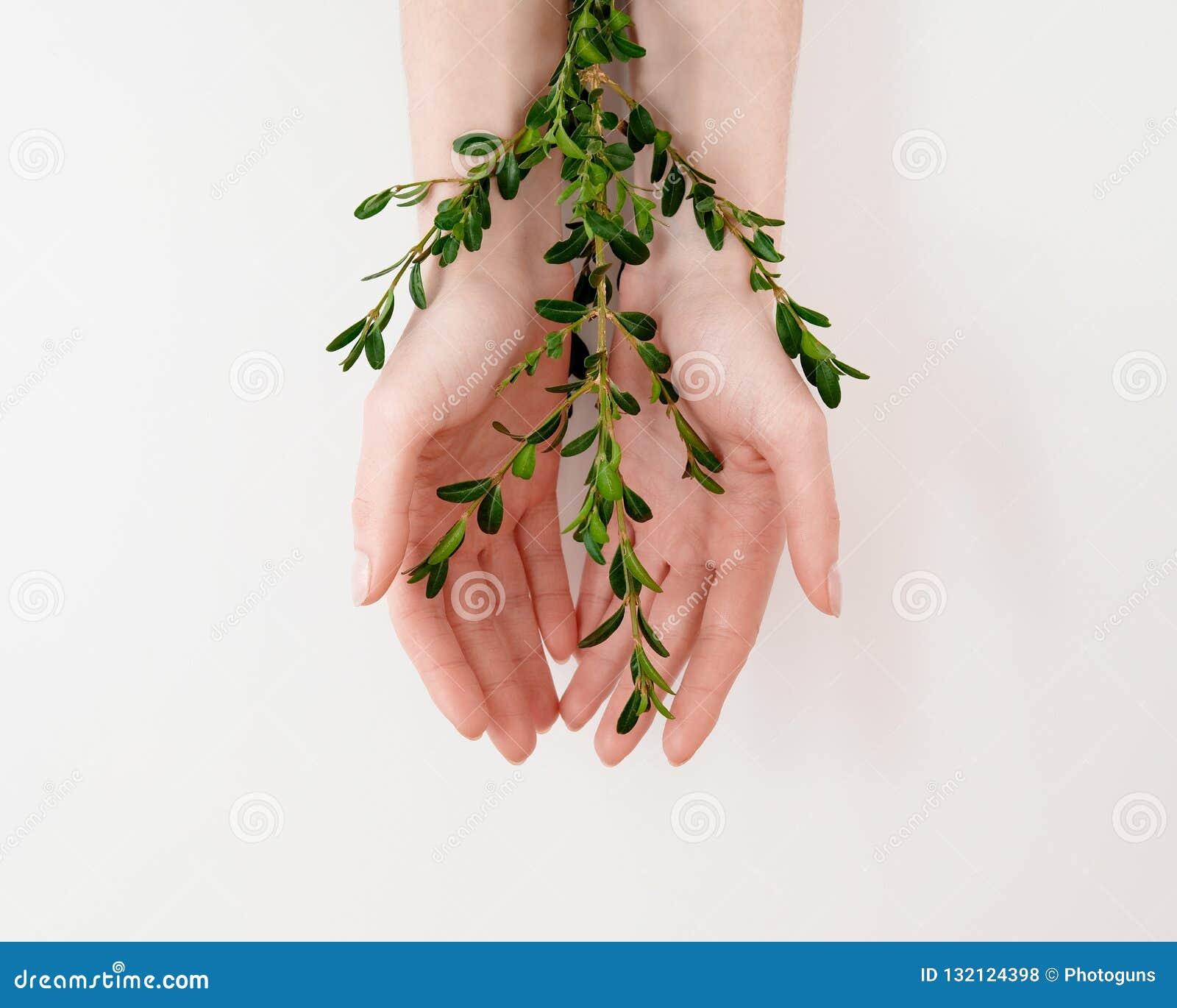 Piękne przygotowywającej kobiety palmy ręki z zielenią opuszczają na stole Naturalny organicznie kosmetyk, skóry opieki piękno, ś