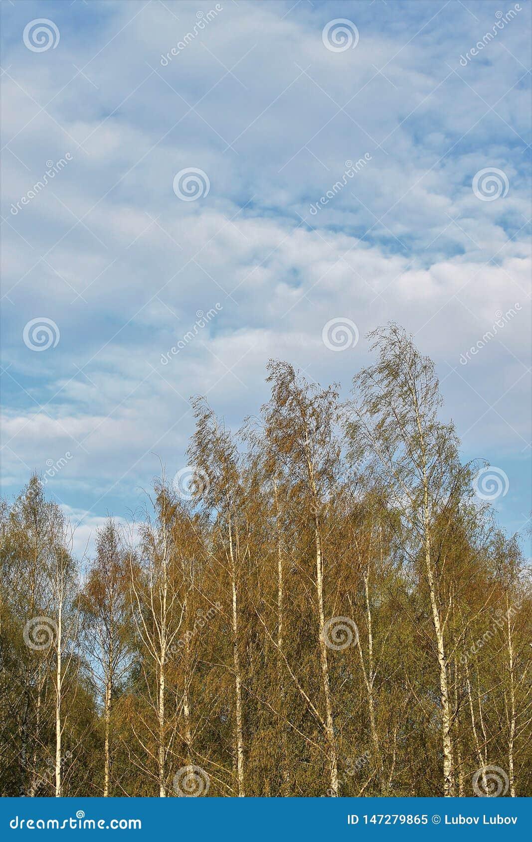 Piękne Rosyjskie białe brzozy