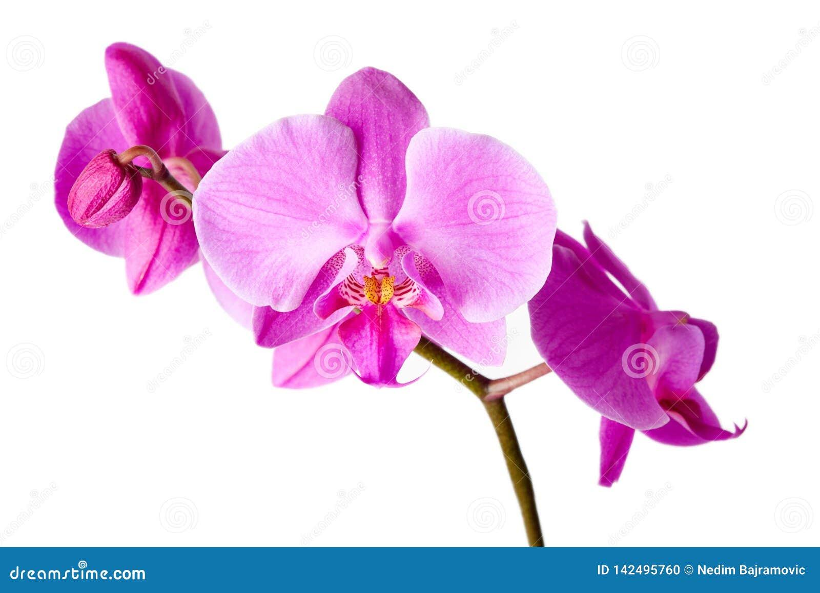 Piękne storczykowe purpurowy