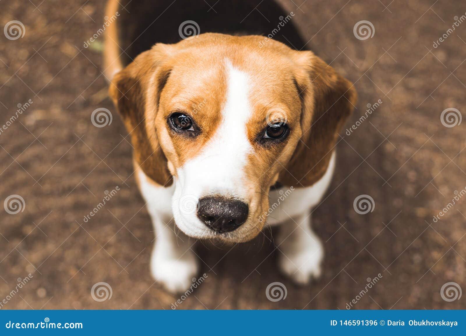 Pięknego beagle łowiecki pies z tłem z przestrzenią dla coś