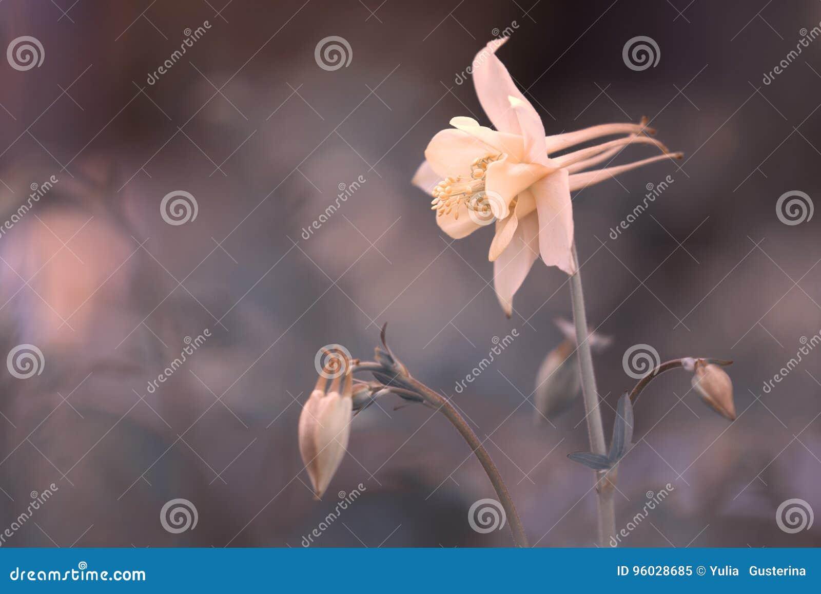 Pięknego kwiatu aquilegia kremowy kolor na delikatnym tle Selekcyjna miękka ostrość