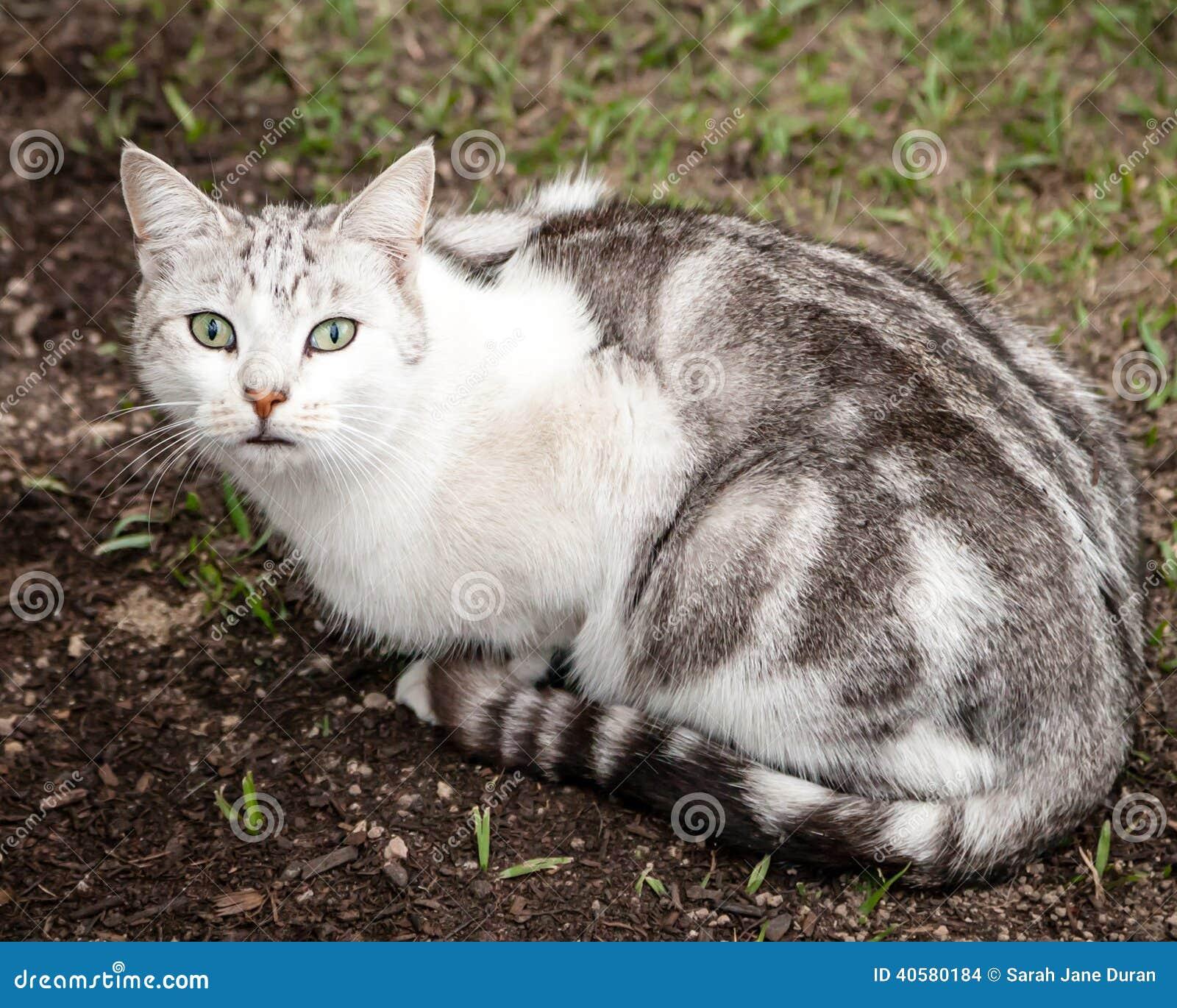 Pięknego Niezwykłego bielu Brown Tabby kota Popielaty obsiadanie w jardzie