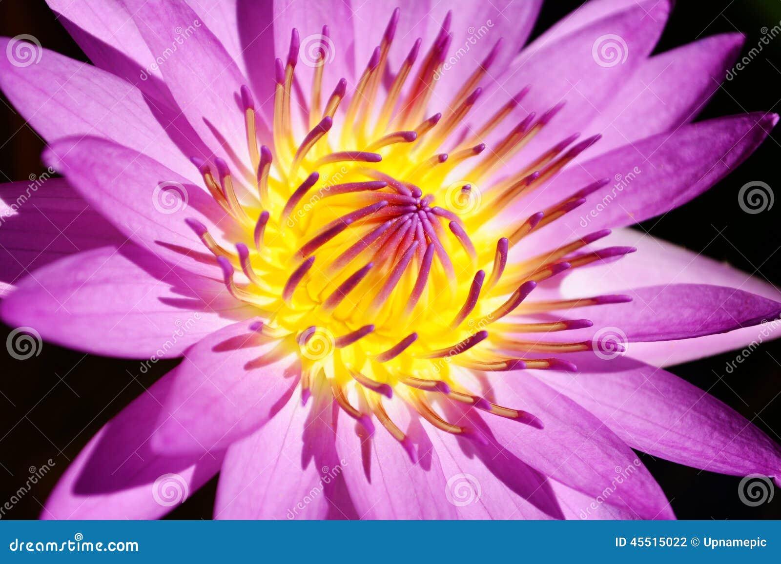 Pięknego pollen lotosowego kwiatu purpurowy kwitnienie w stawie
