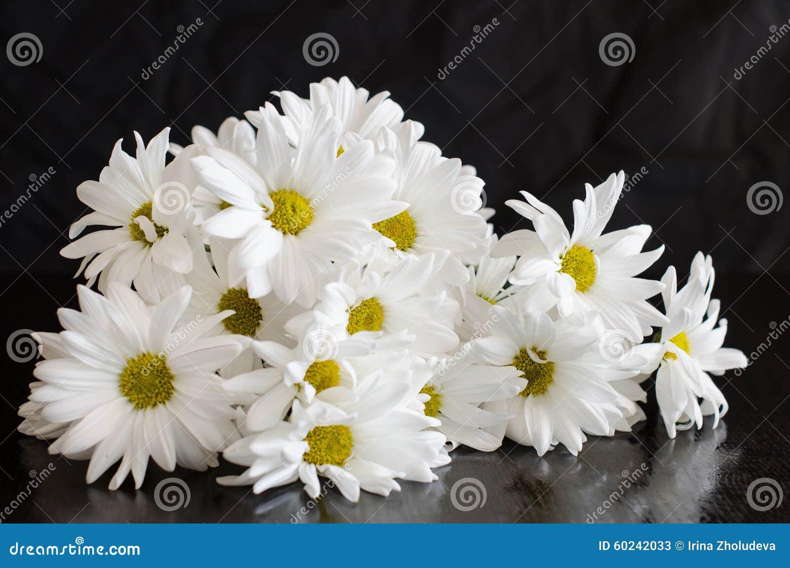 Piękni biali kwiaty chryzantema na czarnym tle