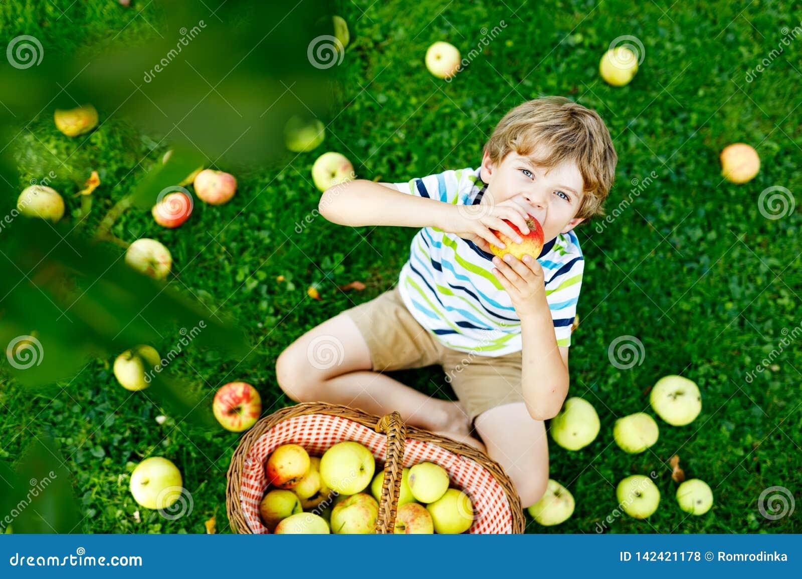 Piękni blond szczęśliwi dzieciak chłopiec łasowania i zrywania czerwoni jabłka na organicznie gospodarstwie rolnym, jesień outdoo