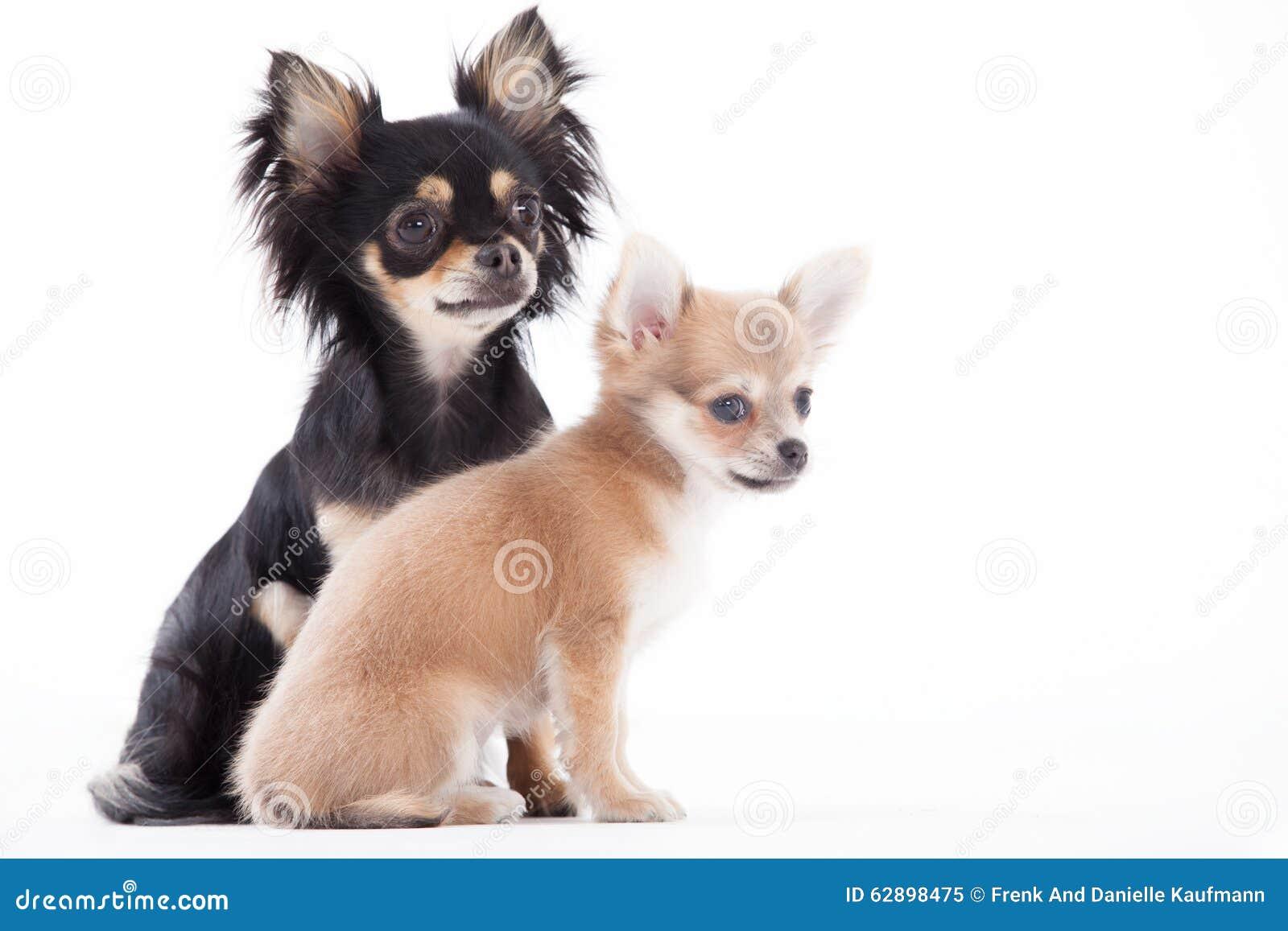 Piękni chihuahua psy