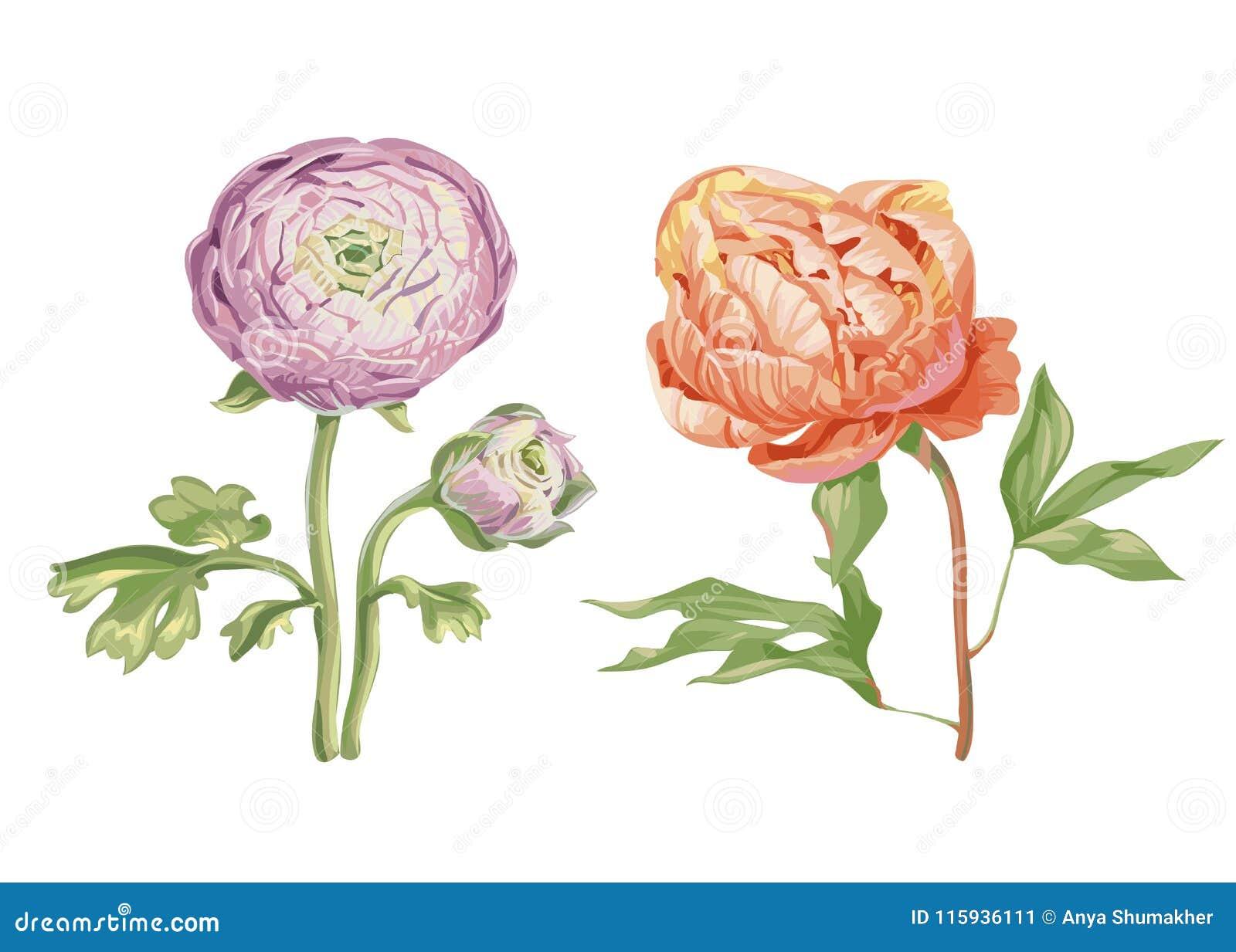 Piękni delikatni różowi peonia kwiaty odizolowywający na białym tle Ampuła pączkuje na trzonie z zielonymi liśćmi Botaniczny wekt