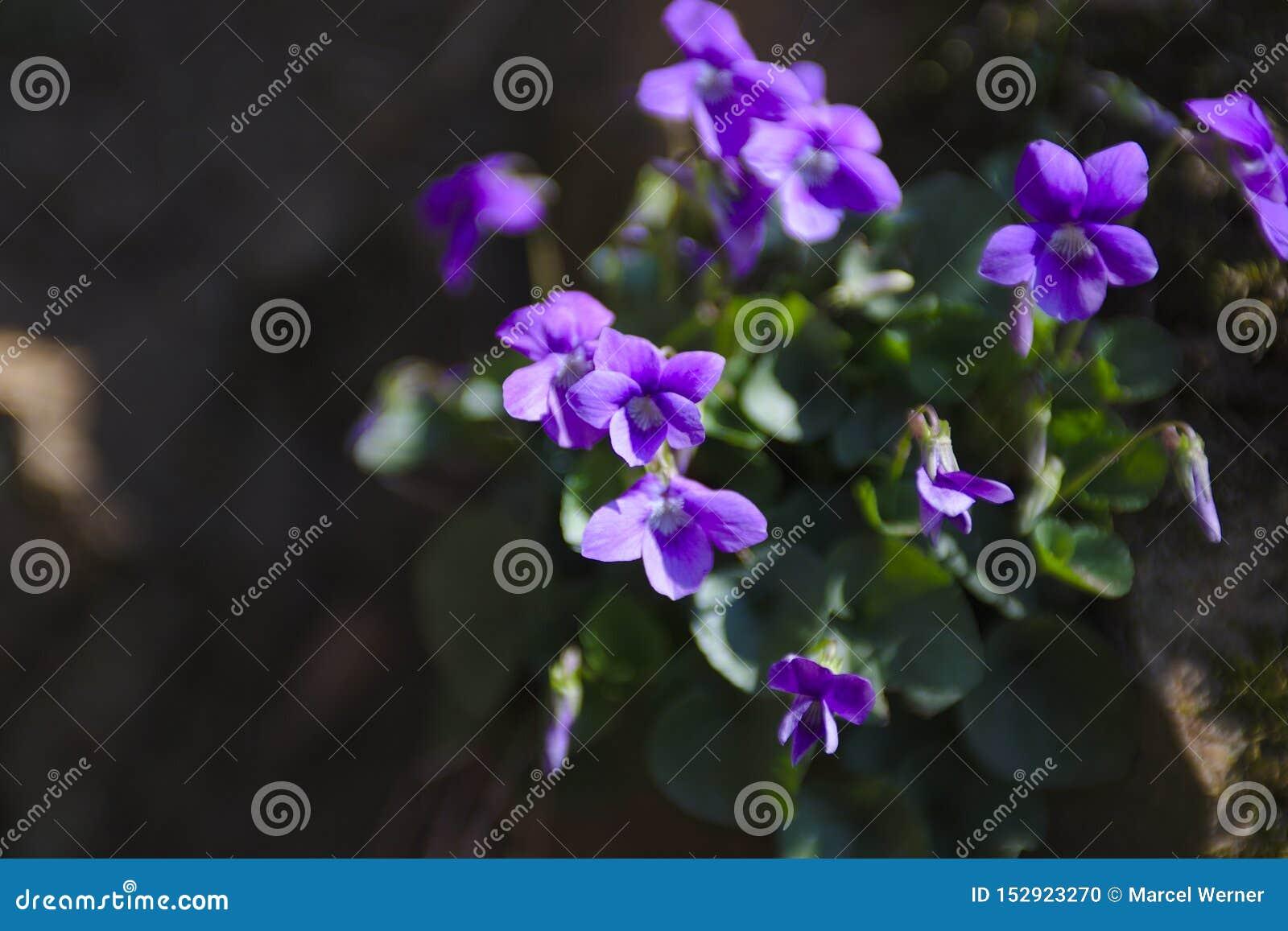 Piękni dzicy kwiaty w czarnym lesie w Niemcy