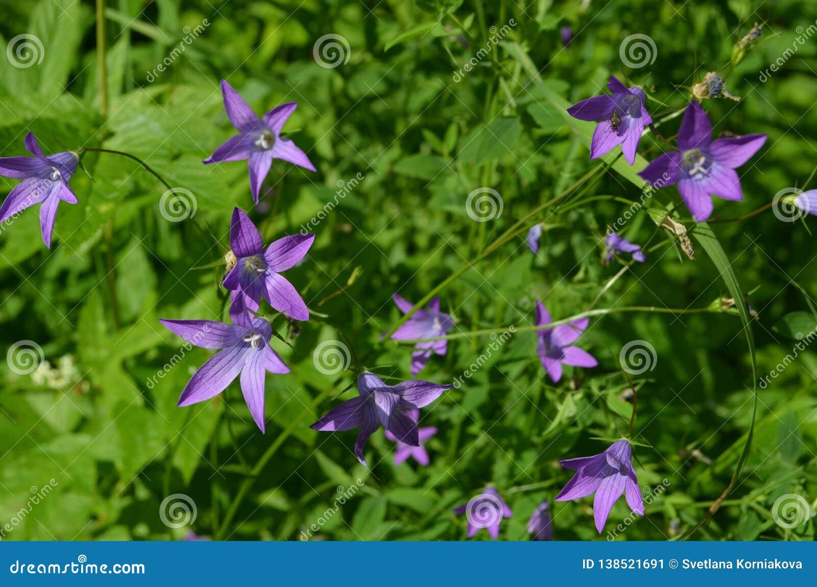 Piękni dzwonkowi kwiaty w słonecznym dniu zamykają w górę