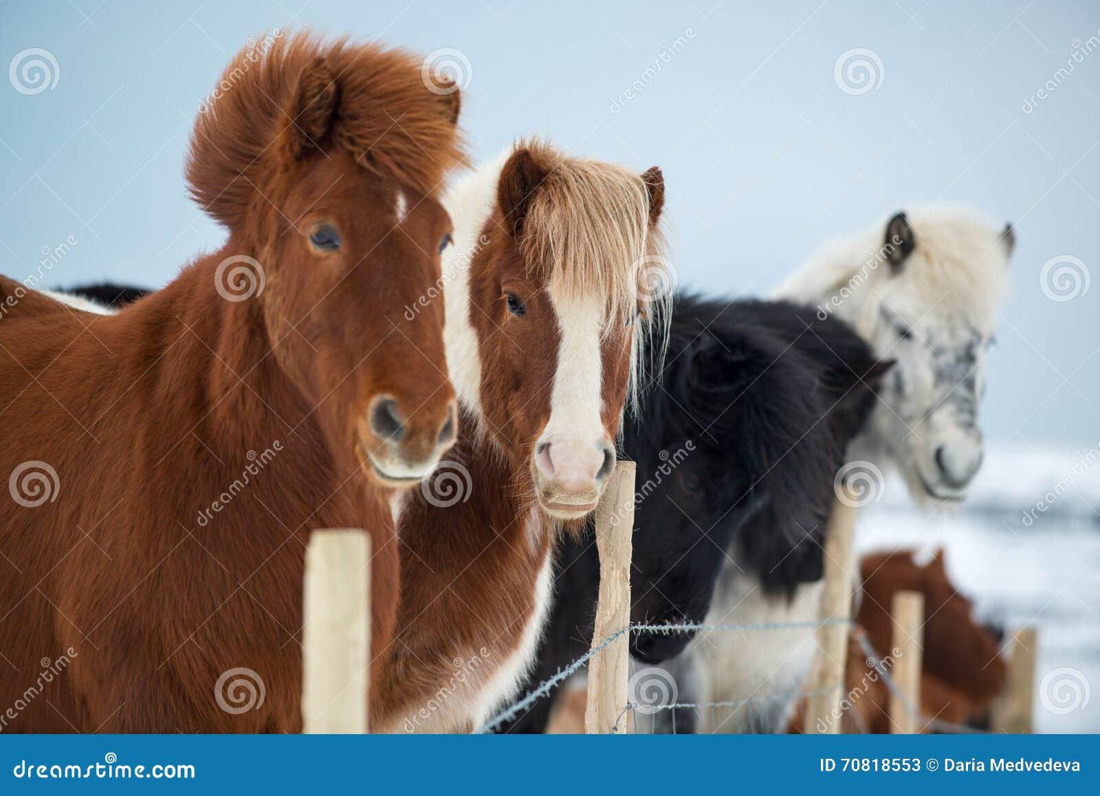 Piękni icelandic konie w zimie, Iceland