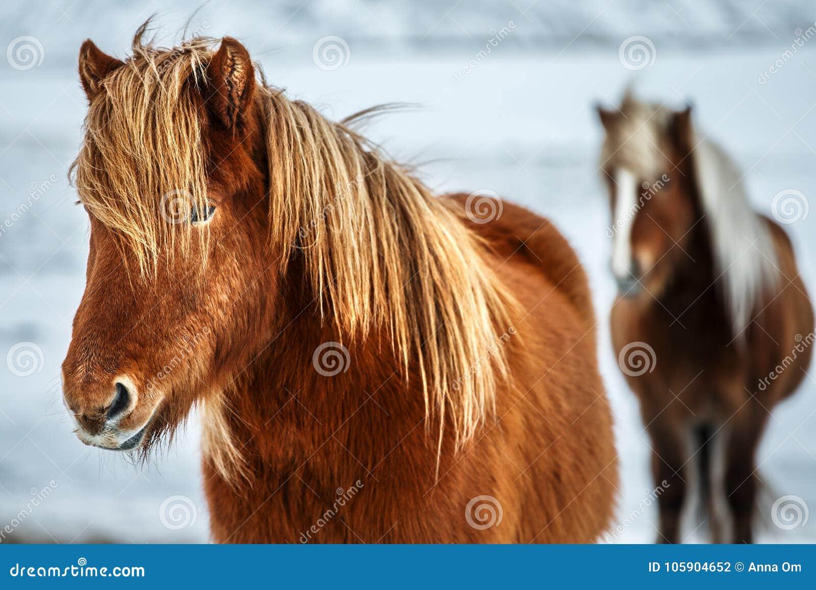 Piękni Islandzcy konie