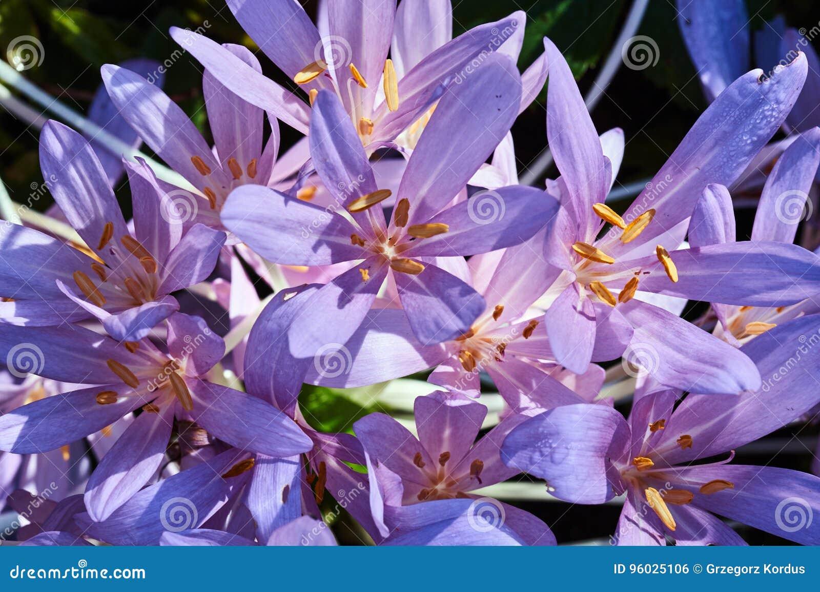 Piękni jesień krokusa kwiaty
