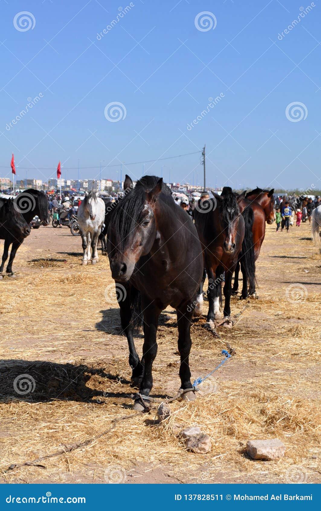 Piękni końscy Berbers w Maroko 3 - wizerunku jpeg