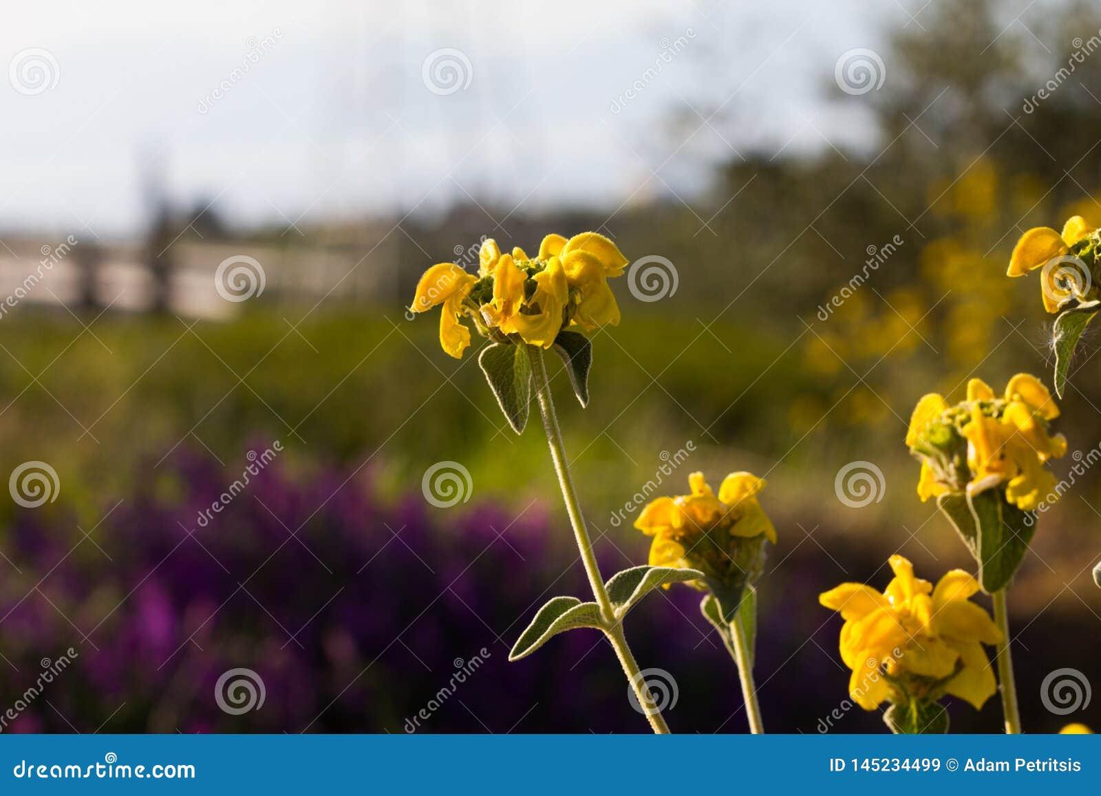 Piękni kolorów żółtych kwiaty z tłem purpurowi kwiaty