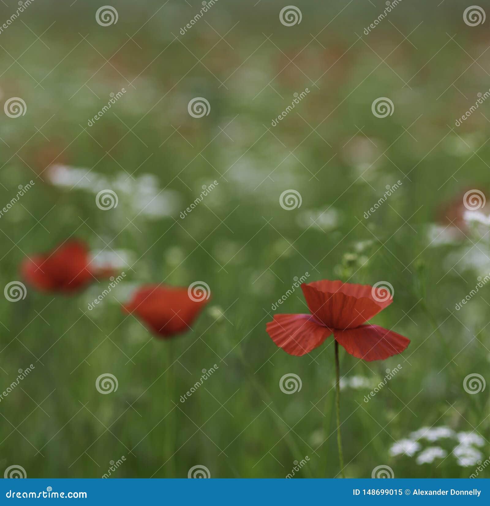 Piękni kolorowi pola maczki i inni dzicy kwiaty w Val d wiosny i lata «Orcia Tuscany Włochy