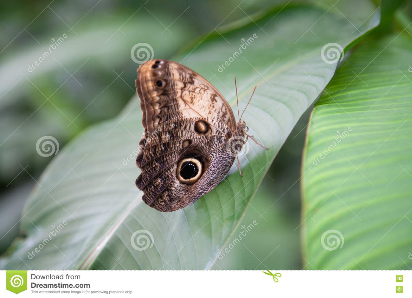 Piękni Morpho peleides motyli na zielonym liściu