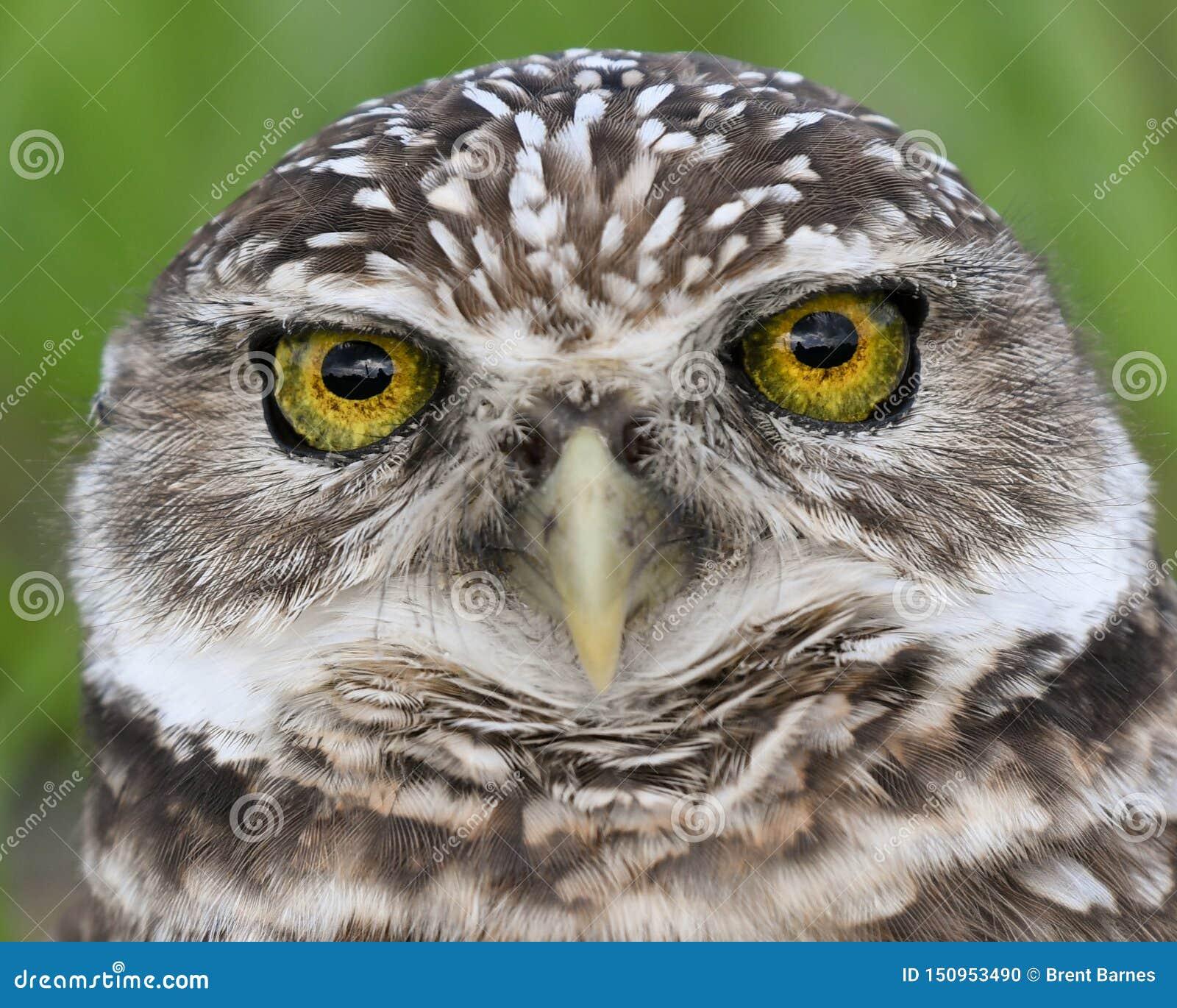 Piękni oczy Grzebie sowa w Floryda