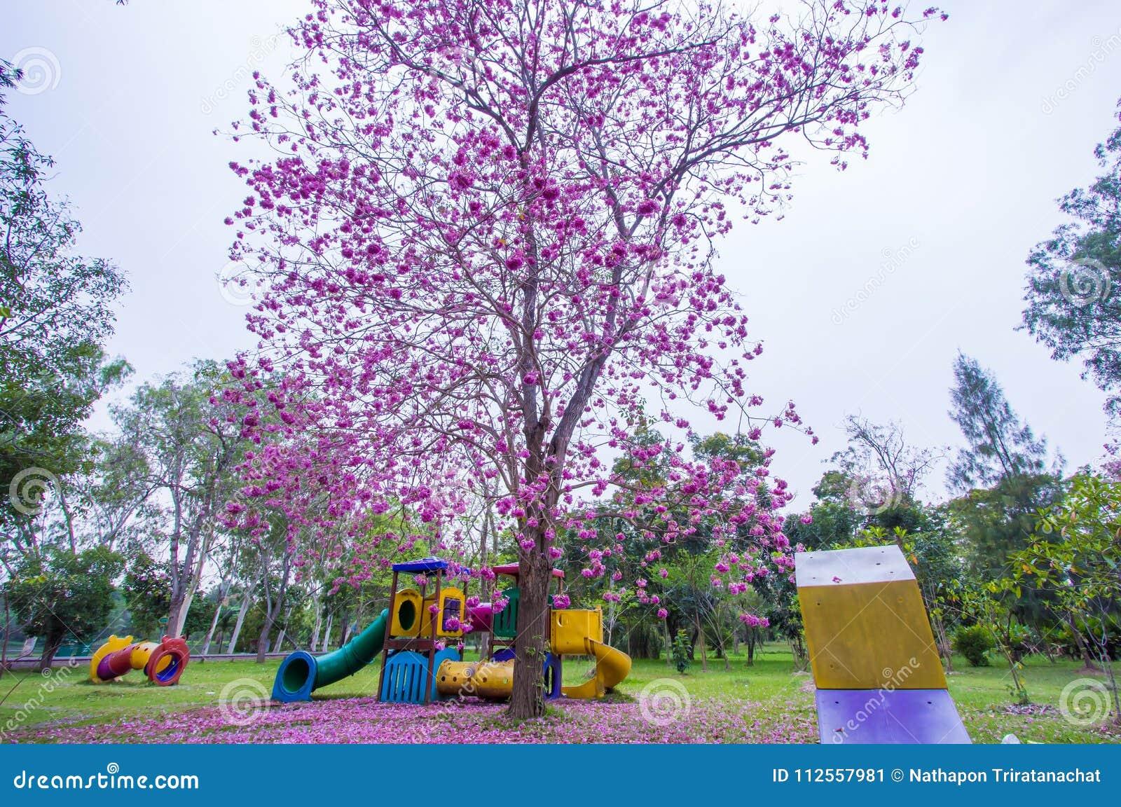 Piękni różowi Różowi Tubowi drzewa i kwiaty przy boiskiem, Phutthamonthon jawny park, Nakhon Pathom prowincja, Tajlandia