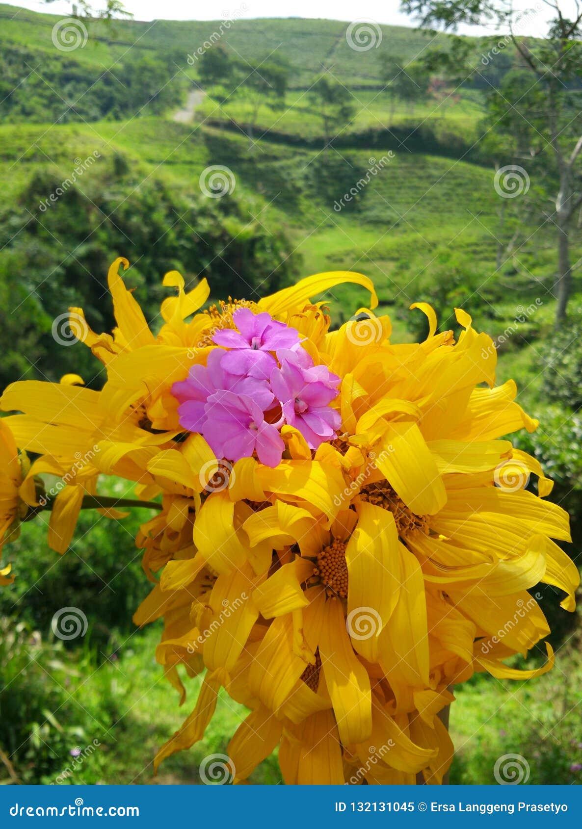 Piękni słoneczniki z purpurowymi kwiatami dodającymi